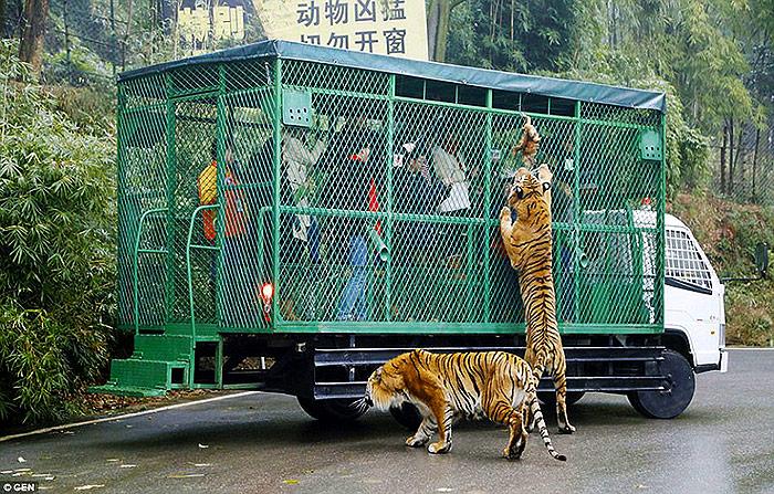 Pogledajte ovaj zoološki vrt u Kini – Životinje slobodno lutaju, a ljudi su u kavezu! 3007B27600000578-3393689-image-a-5_1452512144744