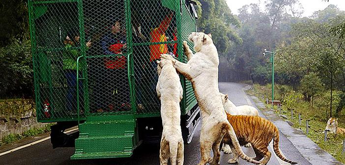 Pogledajte ovaj zoološki vrt u Kini – Životinje slobodno lutaju, a ljudi su u kavezu! Ist