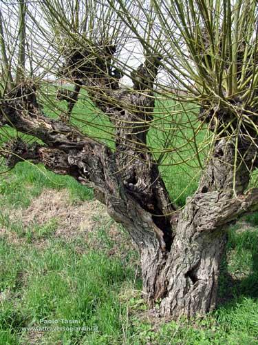 Vrba, različite vrste Salix-viminalis
