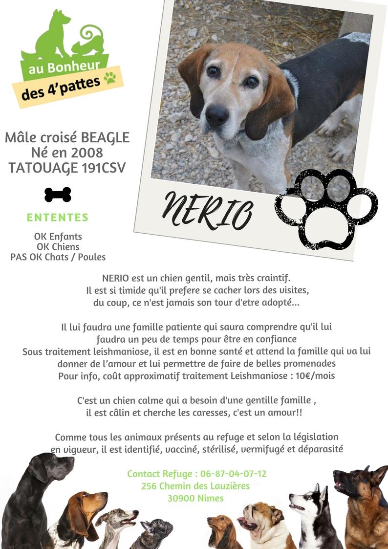 NERIO - x beagle 11  ans - Refuge Au bonheur des 4 Pattes à Nimes (30) NERIO-1