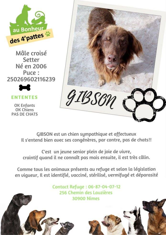 GIBSON/Gybson - x setter/berger 15 ans  (10 ans de refge) - Refuge Au Bonheur des 4 Pattes à Nimes (30) GIBSON