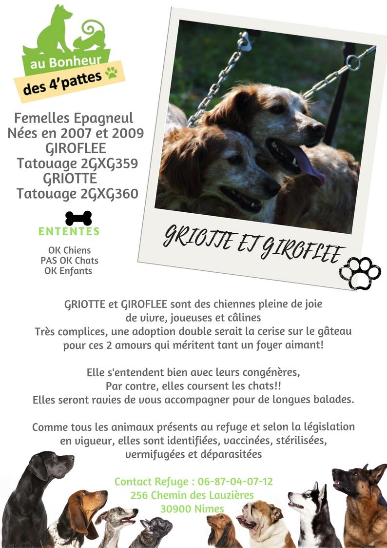 GIROFLEE  -  Epagneul Breton  12 ans et GRIOTTE - Epagneul breton 10 ans  (decedé) (6 ans de refuge) -  AU BONHEUR DES 4 PATTES  A  NIMES  (30) GRIOTTE-ET-GIROFLEE