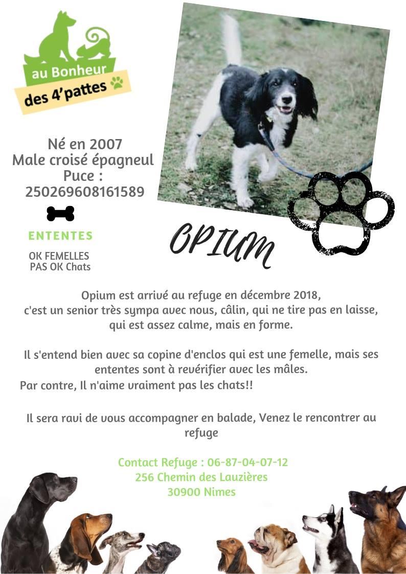 OPIUM - x epagneul 14 ans -(3 ans de refuge) Refuge au Bonheur des 4 Pattes à Nimes (30) OPIUM-1