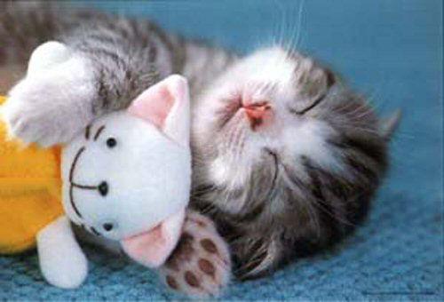 Un chat génial Chat-doudou-humour-animal