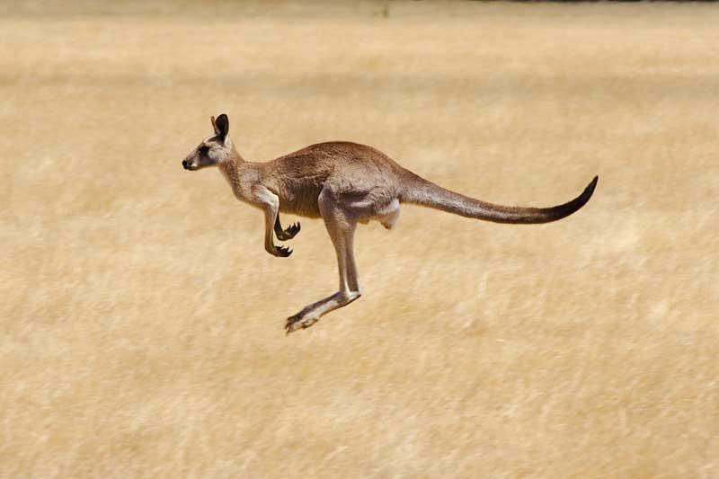 AUSTRALIAN OPEN 2021 - INSCRIPTIONS AUX CONCOURS Australie-victoria-savannah-walkabout-kangourous-hopping