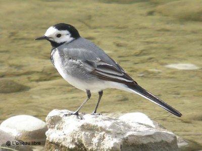 oiseau -Ajonc - 7 octobre trouvé par Martine 2994729369_1_3_tQj9ltYo