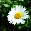 Аватары с цветами - Страница 6 Romawka