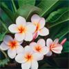 Аватары с цветами - Страница 6 Tropical_flowers