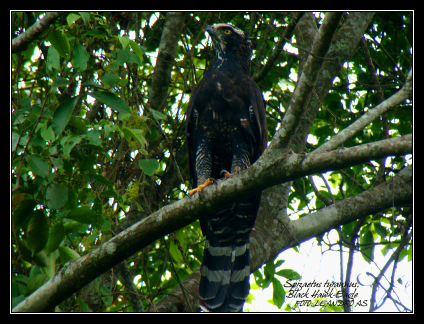 Falconiformes. Família  Acciptridae - Subfamília Buteonidade- Gaviões de penacho. genêro SPIZAETUS Leandro_AS__57474