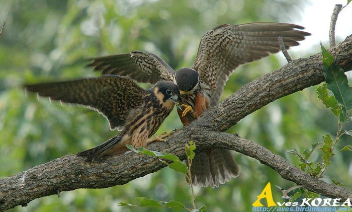 Falconiformes. sub Falconidae - sub fam Falconinae - gênero Falco - Página 3 P04-06