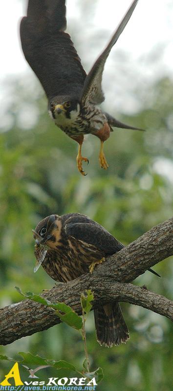 Falconiformes. sub Falconidae - sub fam Falconinae - gênero Falco - Página 3 P04-07
