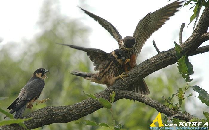 Falconiformes. sub Falconidae - sub fam Falconinae - gênero Falco - Página 3 P04-08