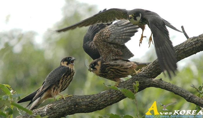 Falconiformes. sub Falconidae - sub fam Falconinae - gênero Falco - Página 3 P04-10