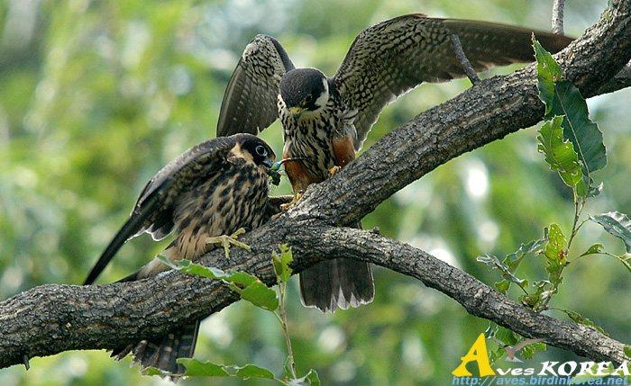 Falconiformes. sub Falconidae - sub fam Falconinae - gênero Falco - Página 3 P04-11