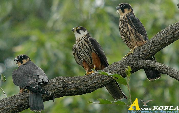 Falconiformes. sub Falconidae - sub fam Falconinae - gênero Falco - Página 3 P04-12