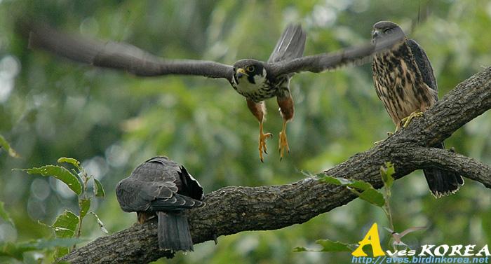 Falconiformes. sub Falconidae - sub fam Falconinae - gênero Falco - Página 3 P04-13
