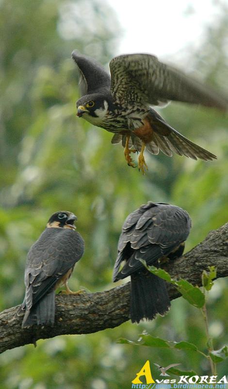 Falconiformes. sub Falconidae - sub fam Falconinae - gênero Falco - Página 3 P04-14