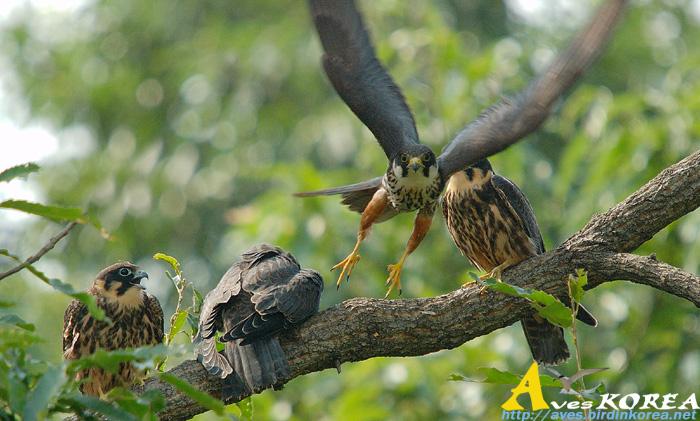 Falconiformes. sub Falconidae - sub fam Falconinae - gênero Falco - Página 3 P04-17