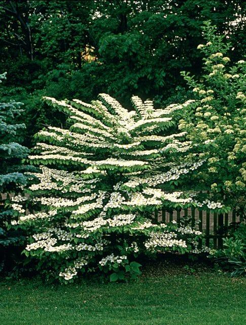 ¿Qué arbusto? Doublefile-viburnum