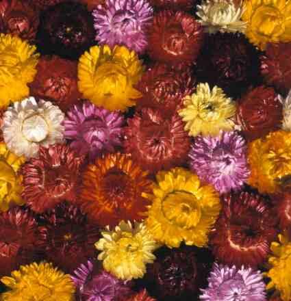 Slamno cveće (helichrysum bracteatum) 29602