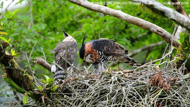 Falconiformes. Família  Acciptridae - Subfamília Buteonidade- Gaviões de penacho. genêro SPIZAETUS 409247419_640