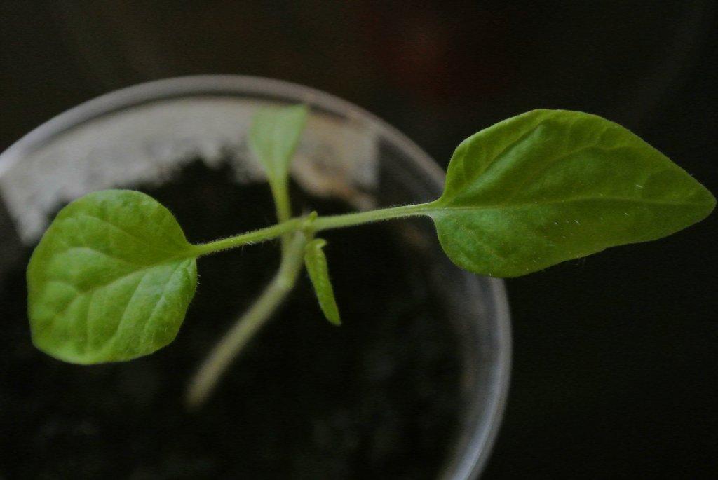 Помогите опознать растение. - Страница 5 47376975ldA