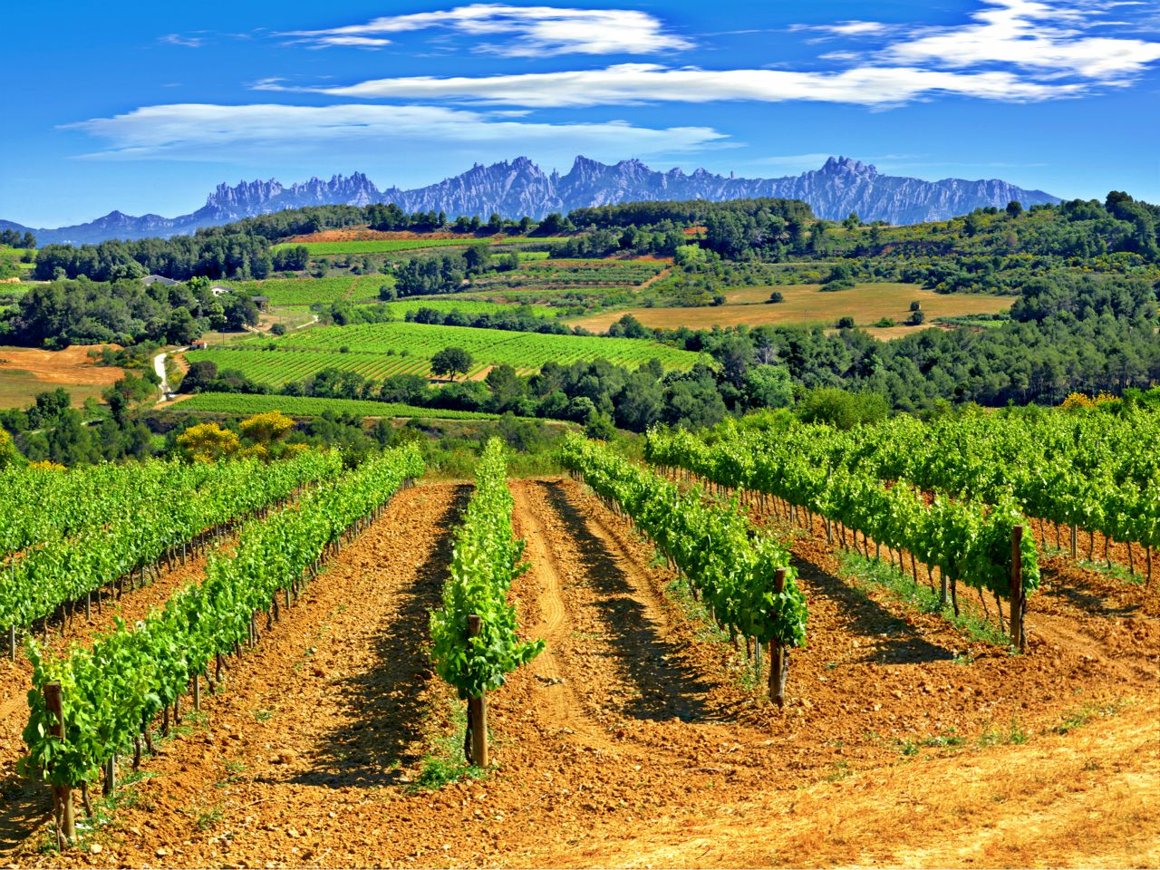 Bon jeudi Penedes-vineyard