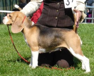 Beagle Basya11