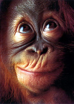 Grands singes, petits singes Orangoutan-Jeune-1