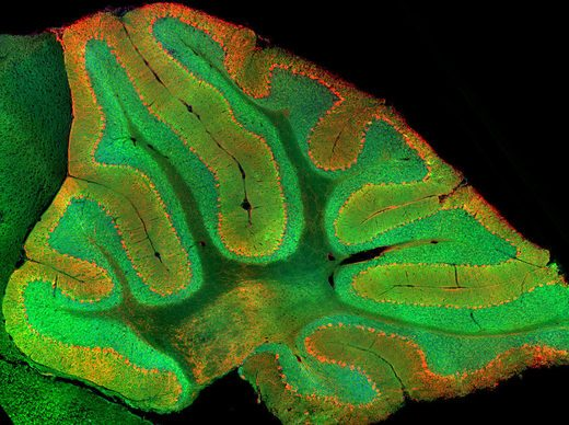 A Previously Unknown Role for the Cerebellum Discovered by Stanford Scientists Cerebellum-e1490477766446