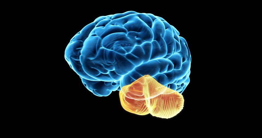A Previously Unknown Role for the Cerebellum Discovered by Stanford Scientists Cerebellum2-852x450