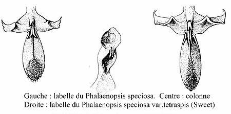 Discussion autour de Phalaenopsis tetraspis et speciosa Labelle%20speciosa