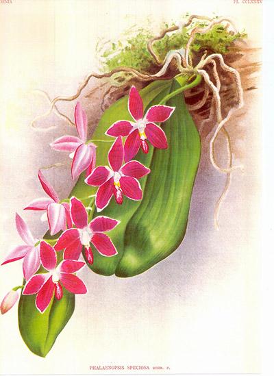 Discussion autour de Phalaenopsis tetraspis et speciosa Lwf4