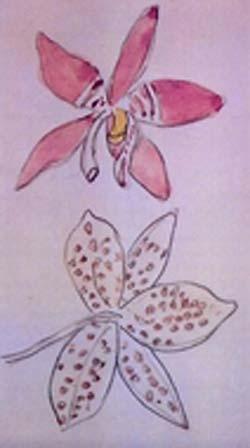 Discussion autour de Phalaenopsis tetraspis et speciosa Speciosa-dessin