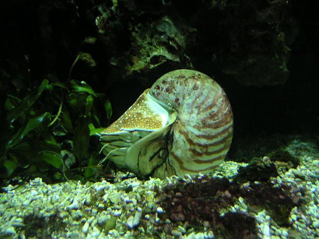 صور لبعض المستحثات Nautilus