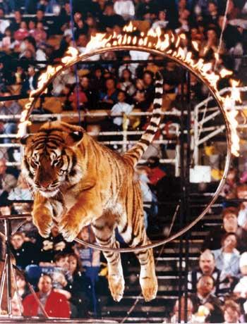 Cirkus - Page 4 Circus-tiger-burning-hoop