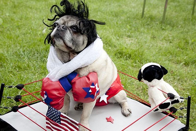 Pugs14 Веселые мопсы  мастера маскировки