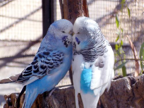 Partnerské-ľúbostné vzťahy Love-birds-blue