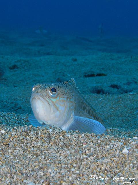 Опасные для человека рыбы Og-rib-41