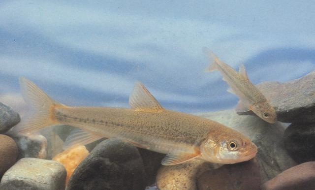 Опасные для человека рыбы Og-rib-44