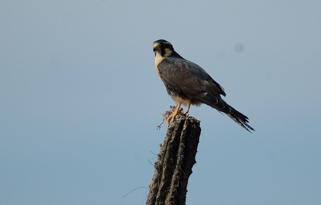 Falconiformes. sub Falconidae - sub fam Falconinae - gênero Falco Aplomado%20Falcon