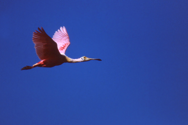 Volim plavo Roseate%20Spoonbill%20Flying%20Against%20Azul%20Sky
