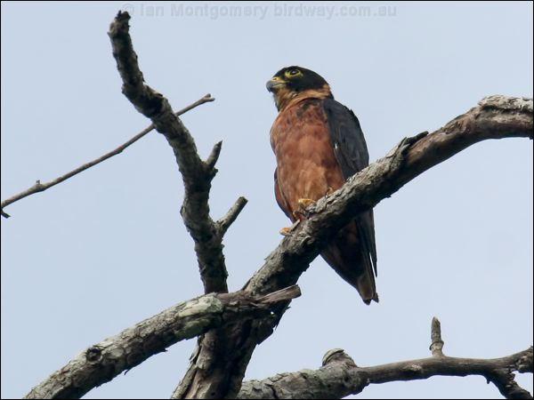 Falconiformes. sub Falconidae - sub fam Falconinae - gênero Falco - Página 3 Oriental_hobby_56860