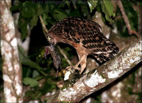 Strigformes: Famíla Strigidae- sub fam. Buteonidae. Género Ketupa (por vezes incluído em Bubo) Buffy_fish_owl_c49587f