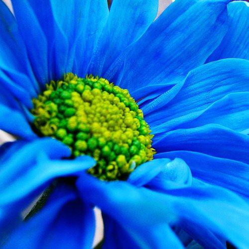 Tajanstvenim stazama duse... - Page 21 Blue-daisy