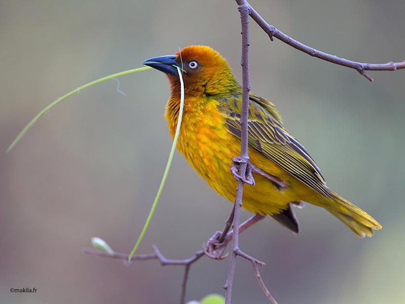 un oiseau à trouver Martin 20 mars trouvé par Martine - Page 2 Cape-Weaver-male-nest-building