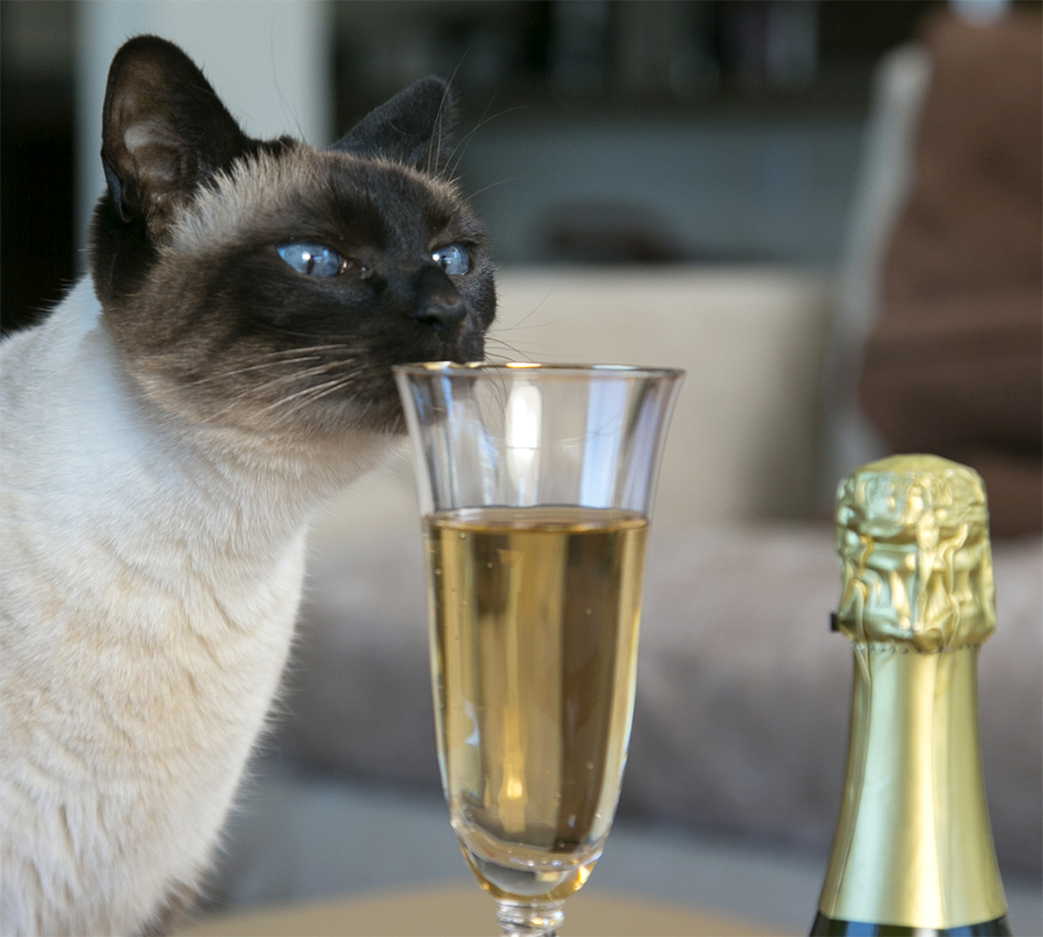 Ohhhhhh....4 ans ! Siamese-cat-smelling-champagne