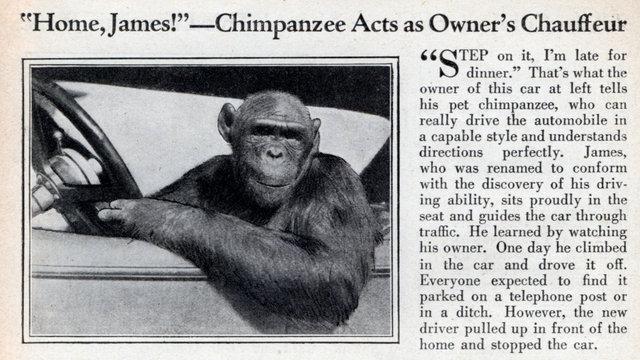 Crazy bout an automobile Med_chimp_driver