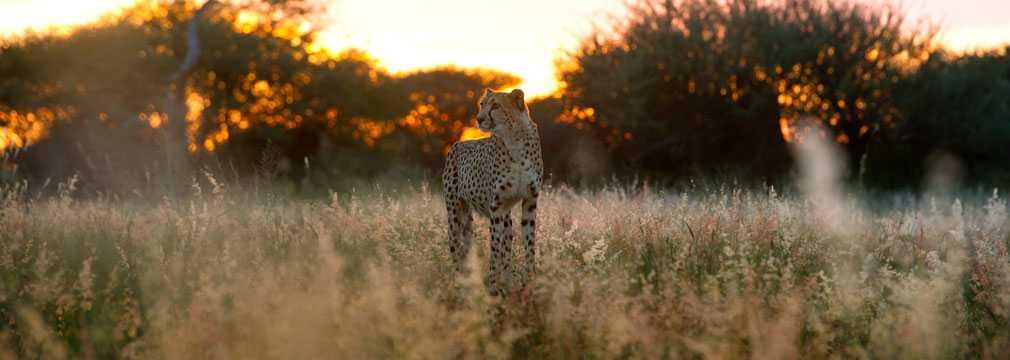 Correr, correr y no parar...[FanFiction] - Página 2 Africat-cheetah-at-sunset