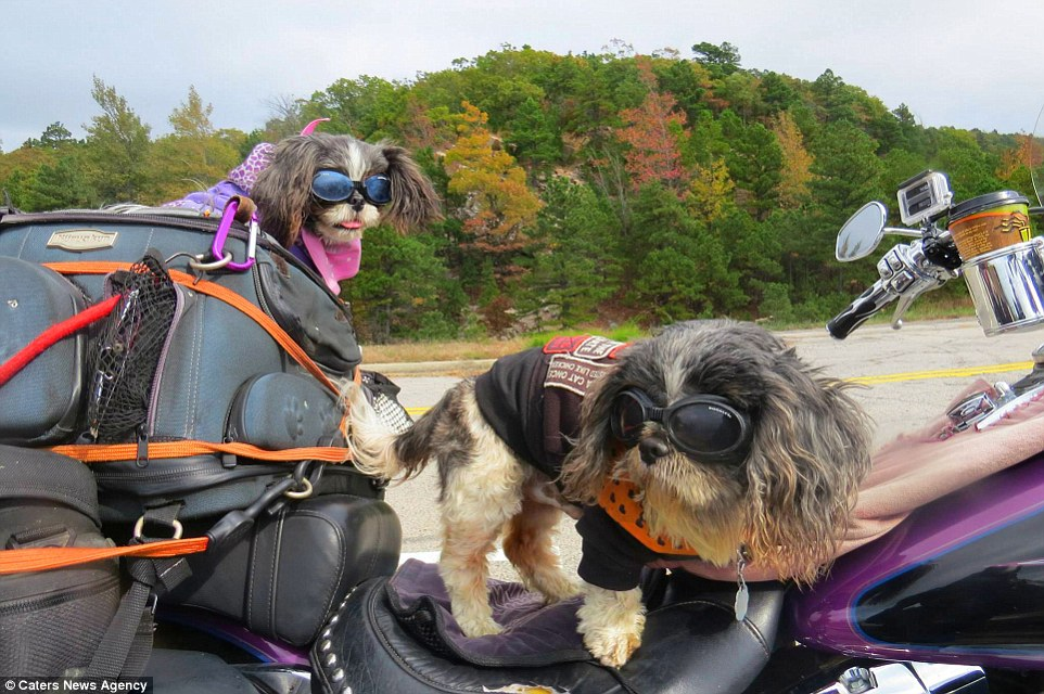 DOG'S & BIKES ATTITUDES - Page 3 HD-1-dogs-that-traveled-U.S.